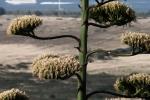 Na vrh brda agava mrda