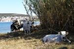 Krave i bikovi